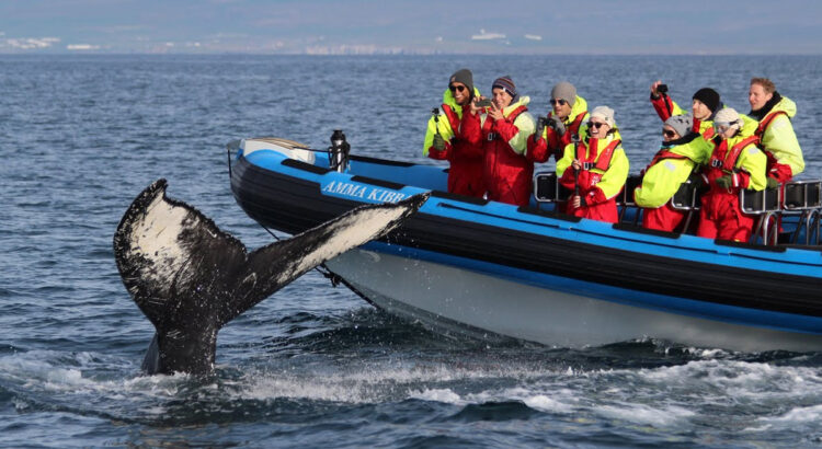 RIB boat whale watching in Húsavík
